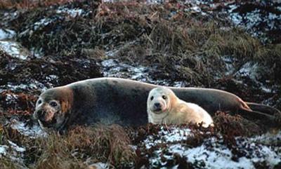 Серый тюлень, фото Р. Чемякина