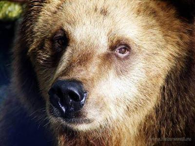 Медведи в Кандалакшском районе