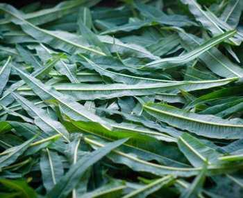 Сбор листьев Иван-чая