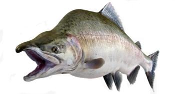 Рыбалка на горбушу в Кандалакше